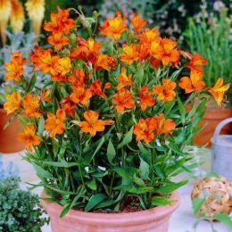 Альстромерия Orange King фото