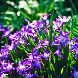 Хионодокса Violet Beauty фото