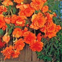 Бегония Pendula Cascade Orange фото