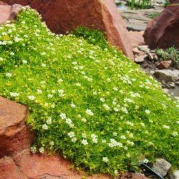 Мшанка Lime Moss фото