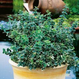Бересклет Emerald Gaiety фото
