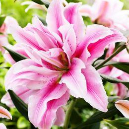 Лилия Roselily Fabiola Double Star фото