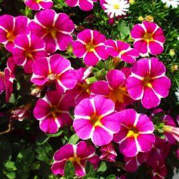 Калибрахоа Rave Pink фото