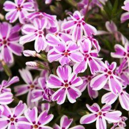 Флокс Kimono Pink-White фото