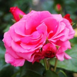 Роза плетистая Lawinia фото