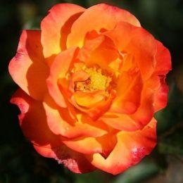 Роза Rumba фото