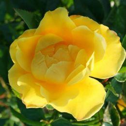 Роза плетистая Dukat фото