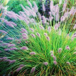 Пеннисетум Hameln фото