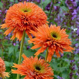 Эхинацея Colorburst Orange фото