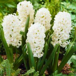 Гиацинт Махровый Snow Crystal фото