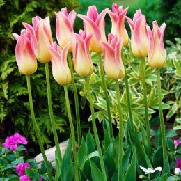 Тюльпан Elegant Lady фото