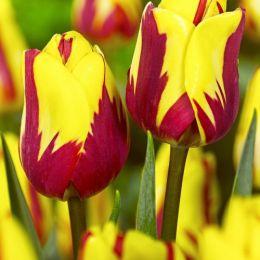 Тюльпан Helmar фото