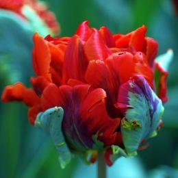 Тюльпан Rococo Double фото