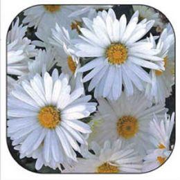 Хризантема Серебряная принцесса смесь фото