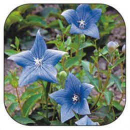 Платикодон Гаваи голубой фото