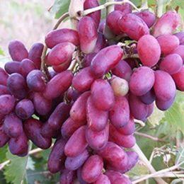 Виноград Изюминка фото