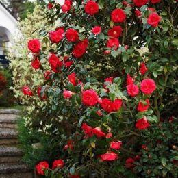 Камелия Красная фото