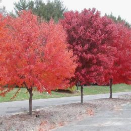Клён красный Brandywine фото