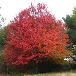 Клён красный Sun Valley фото