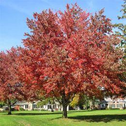 Клён Фримана Autumn Fantasy фото