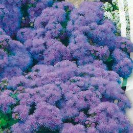 Агератум Голубая лагуна фото