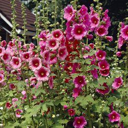 Штокроза Rosea Pink фото