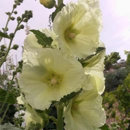Штокроза Rosea Yellow фото