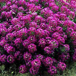 Алиссум розовый фото