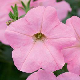Альпетуния Soft Pink фото