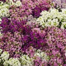 Алиссум Wonderland Mix фото