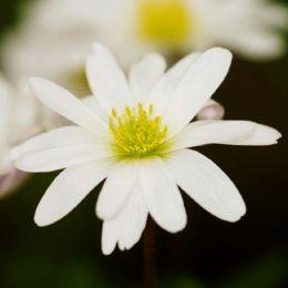 Анемона White Splendour фото