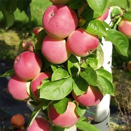 Карликовая яблоня Мелба фото