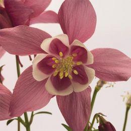 Аквилегия Spring Magic Rose & White фото