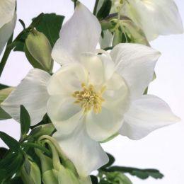 Аквилегия Spring Magic White фото
