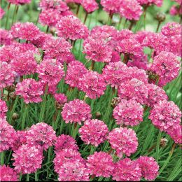 Армерия приморская Розовый бриз фото