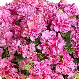 Азалия BloomChampion Double Pink фото