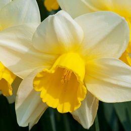 Нарцисс Merels Favourite фото