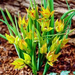 Тюльпан Orphanidea Flava фото