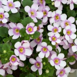 Бакопа Sutera Розовая фото