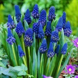 Бельвалия густоцветковая фото