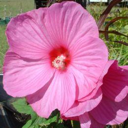 Гибискус Mouschetous Pink фото