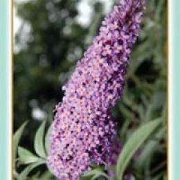 Буддлея Давида пурпурно-фиолетовая  фото
