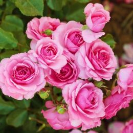 Роза плетистая Climbing Bonica 98 фото