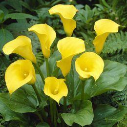 Калла Florex Gold фото