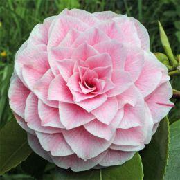Камелия Розовая фото