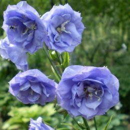 Кампанула  La Belle Blue фото