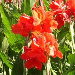 Канна Tropical Red фото