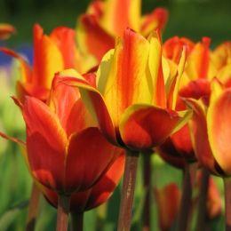 Тюльпан Cape Cod фото