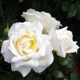 Роза Caroline Victoria фото