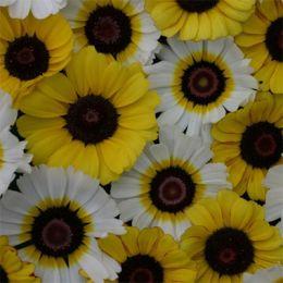 Хризантема Goldie фото